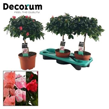 Azalea 17 cm stam mix - Decorum