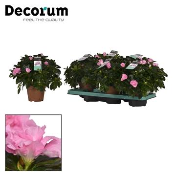 Azalea 14 cm Terra Nova - Decorum