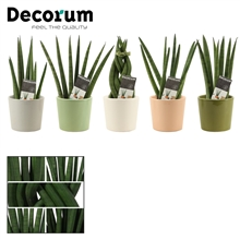 Sansevieria Cylindrica 6 cm mix in Hawaii (Deco-collection)
