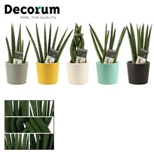 Sansevieria Cylindrica 6 cm mix in Mexico (Deco-collection)