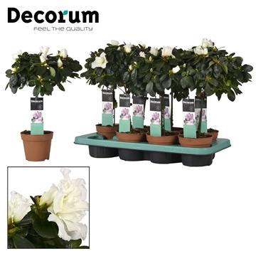 Azalea 12 cm stam mix - Decorum
