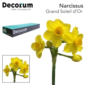 Narcissus Grand Soleil d'Or