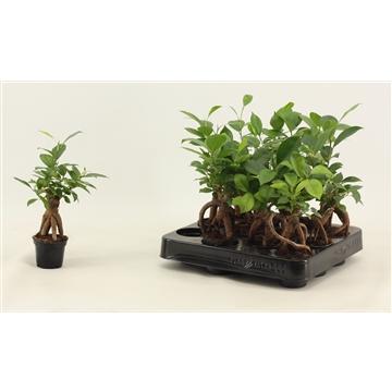 Ficus Ginseng A2  6 cm