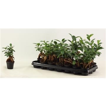 Ficus Ginseng  7 cm A2