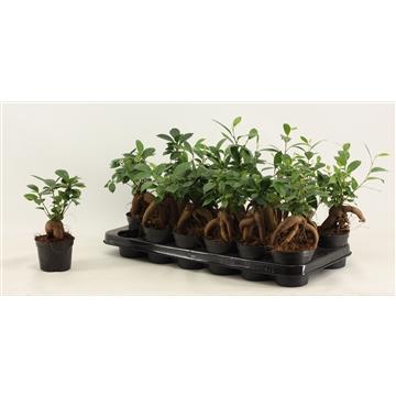 Ficus Ginseng 9 cm A2