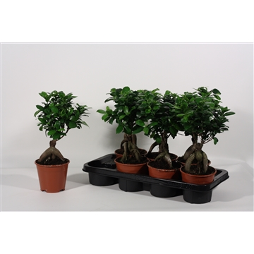 Ficus Ginseng Bonsai geënt 14 cm