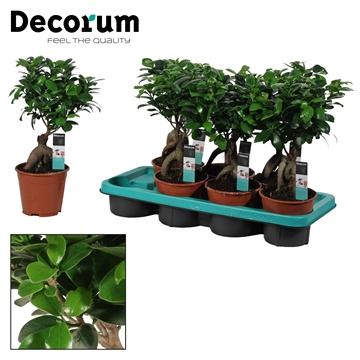 Ficus Ginseng Bonsai geënt 14 cm (Decorum)