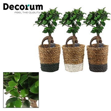 Ficus Ginseng Bonsai geënt 12 cm in Amber mand (Shades of Nature