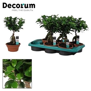 Ficus Ginseng Bonsai geënt 16 cm (Decorum)