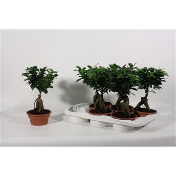 Ficus Ginseng Bonsai geënt 16 cm