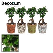 Ficus Ginseng Bonsai geënt 12 cm in Mees (Unique-collection)