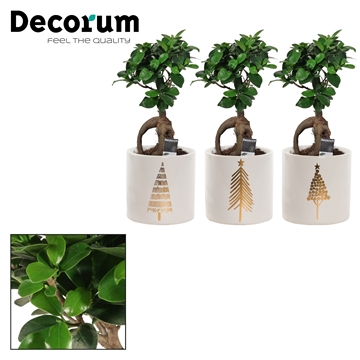 Ficus Ginseng Bonsai geënt 12 cm in Manon (Moments-collection)