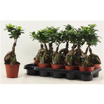 Ficus Ginseng geënt A2 12 cm