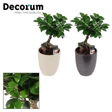 Ficus Ginseng Bonsai geënt 12 cm in Pearl black/ivory (Decorum)