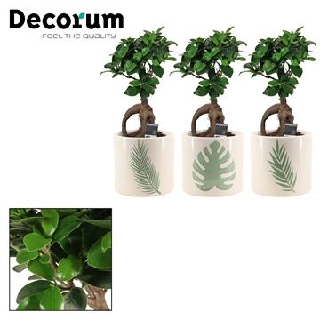 Ficus Ginseng Bonsai geënt 12 cm in Manouk (Dream Spirit-coll.)