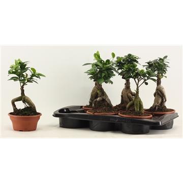 Ficus Ginseng geënt A2 16 cm