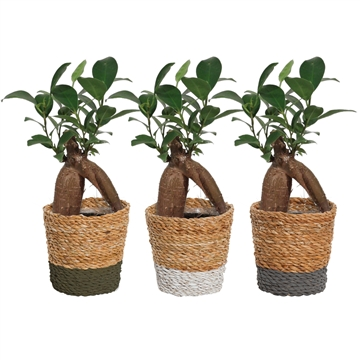 Ficus Ginseng Retusa 6 cm in Amber mand (Shades of Nature-col.)