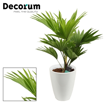 Livistona Rotundifolia 12 cm in Carly wit (Decorum)