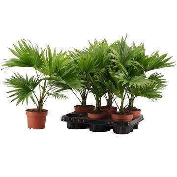 Livistona Rotundifolia A2 12 cm