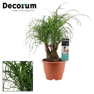 Beaucarnea vertakt 19 cm (Decorum)