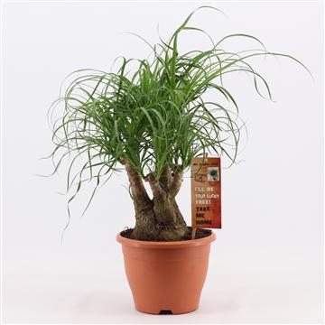 Beaucarnea vertakt 19 cm