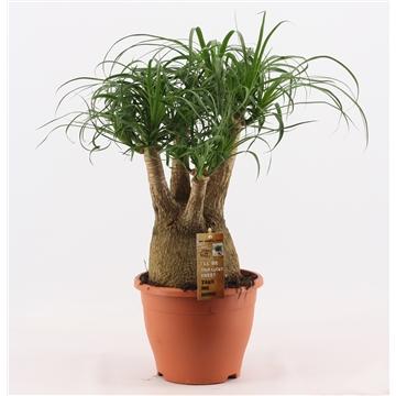 Beaucarnea vertakt 21 cm