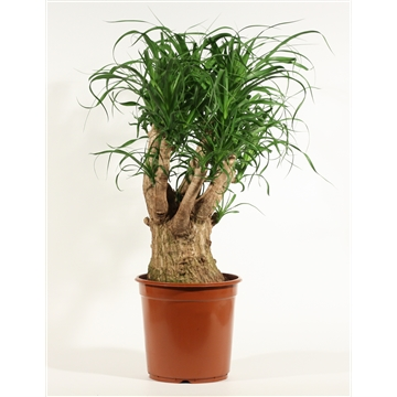 Beaucarnea vertakt 24 cm
