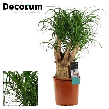 Beaucarnea vertakt 24 cm (Decorum)