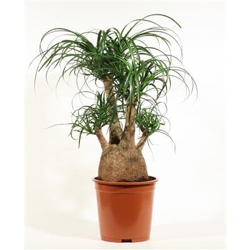 Beaucarnea vertakt 27 cm