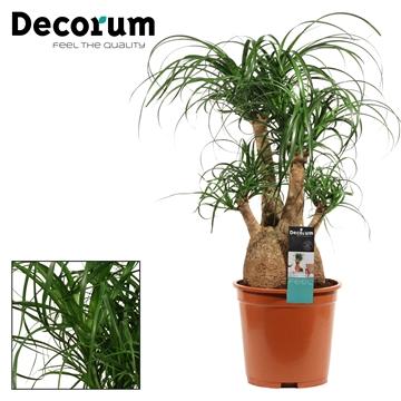 Beaucarnea vertakt 27 cm (Decorum)