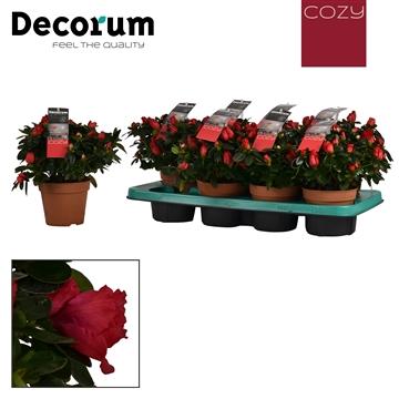 Azalea 12 cm Jimmy Decorum