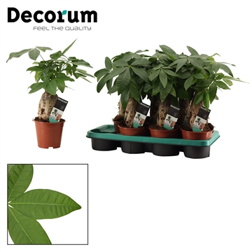 Pachira 14 cm trunk (Decorum)