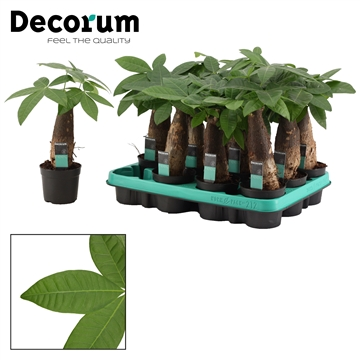 Pachira 9 cm trunk (Decorum)