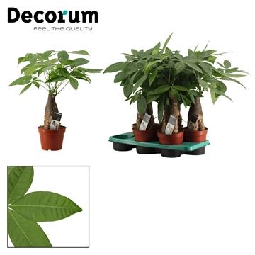 Pachira 16 cm trunk (Decorum)
