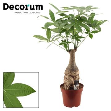 Pachira 26 cm trunk (Decorum)