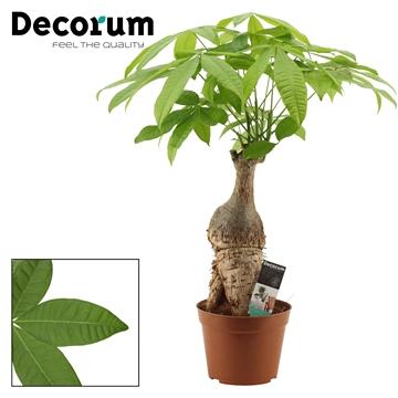 Pachira 20 cm trunk (Decorum)