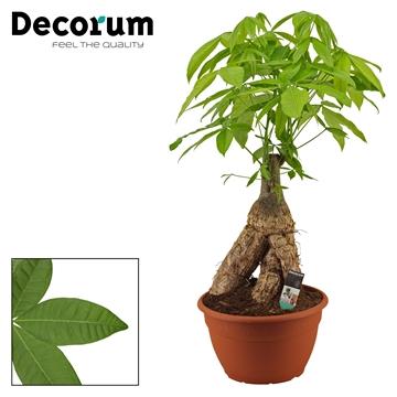 Pachira 35 cm trunk (Decorum)