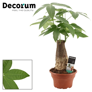 Pachira 19 cm trunk (Decorum)