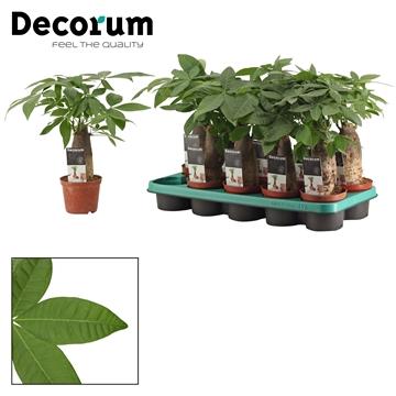 Pachira 12 cm trunk (Decorum)