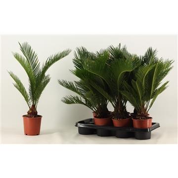 Cycas Revoluta A2 14 cm