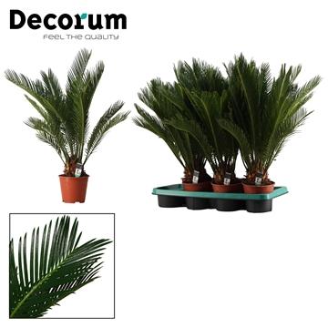 Cycas Revoluta 14 cm (Decorum)