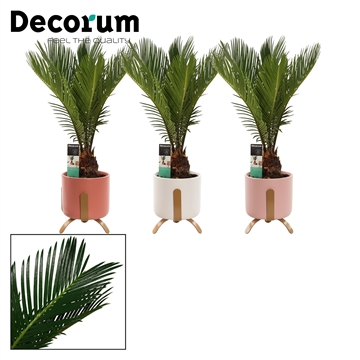 Cycas Revoluta 12 cm in Luca (Moments-collection)