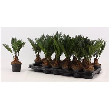 Cycas Revoluta 9 cm (compact)