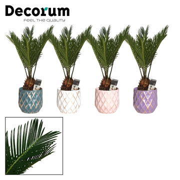 Cycas Revoluta 9 cm in Veerle (Passion-collection)