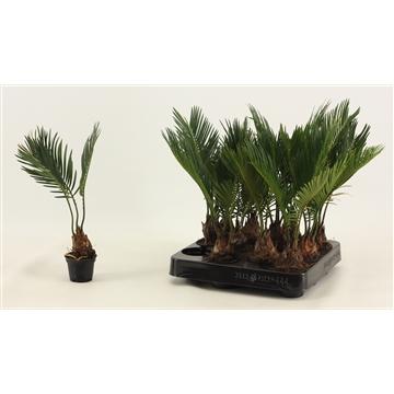 Cycas Revoluta A2 6 cm