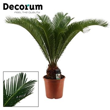 Cycas Revoluta 24 cm (Decorum)
