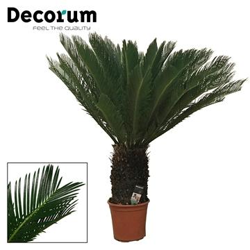Cycas Revoluta 24 cm XXL (Decorum)