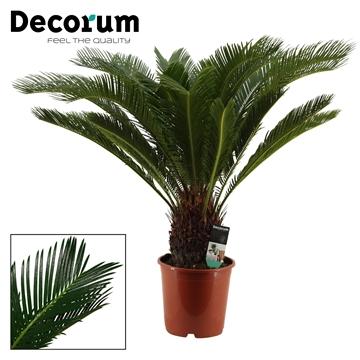 Cycas Revoluta 21 cm (Decorum)