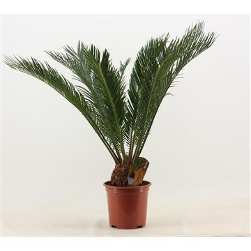 Cycas Revoluta 19 cm