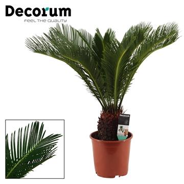 Cycas Revoluta 19 cm (Decorum)